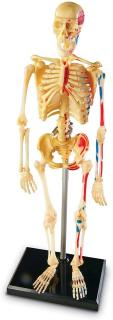 Human Anatomy Model - Skeleton